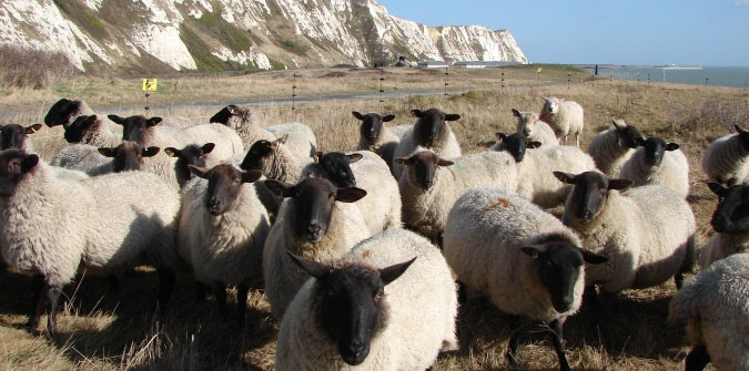 sheep_and_cliffs